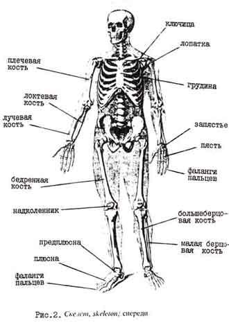 костей человеческого тела.