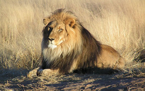 African_Lion.jpg