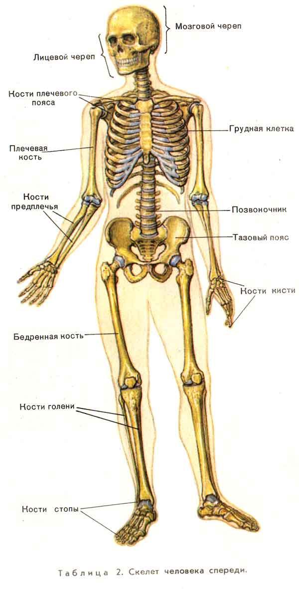 """скелета человека."""""""