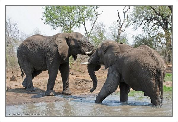 Южная африка.  2005. Оглавление раздела.  Два африканских слона не поделили пучок травы и начали бодаться.